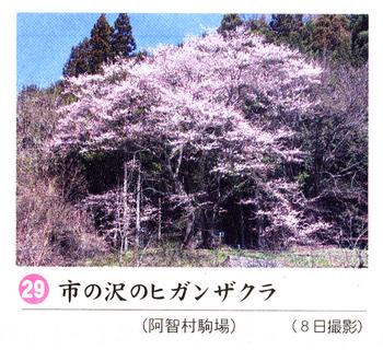 南桜29.jpg